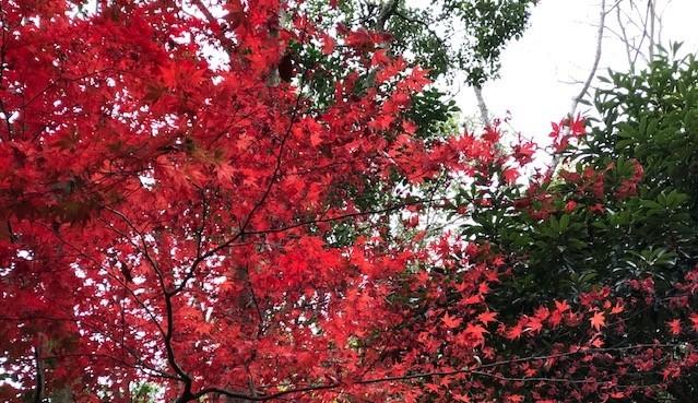 koyo_red.jpg