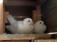 里親募集の鳩たち