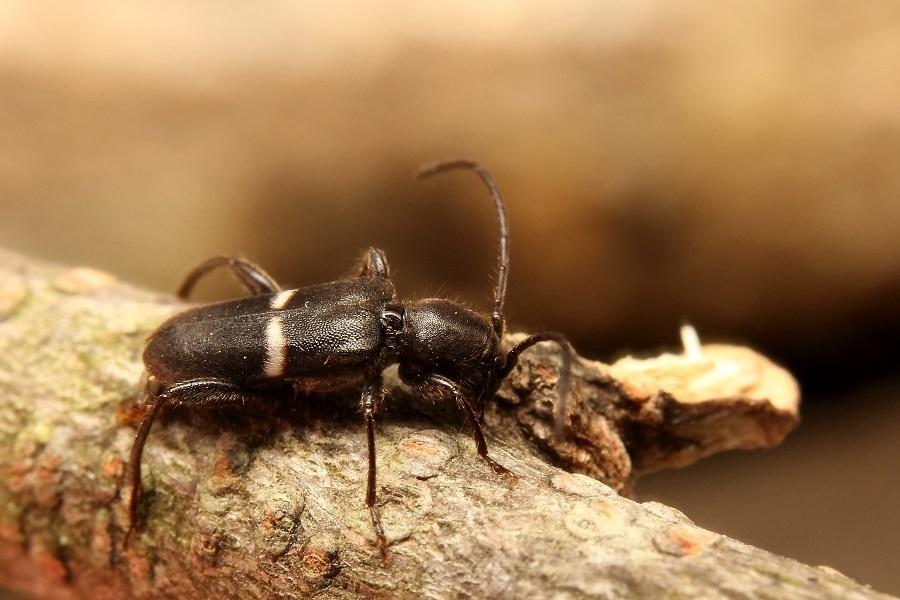 シロオビチビヒラタカミキリ2s