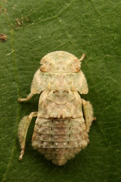 ミミズク幼虫2s