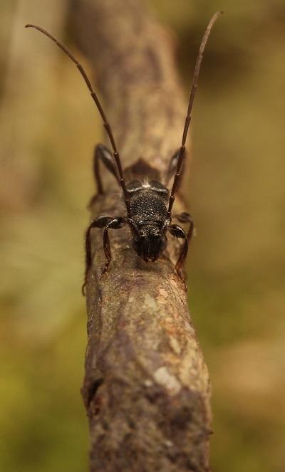 クロサワヒメコバネカミキリ3s
