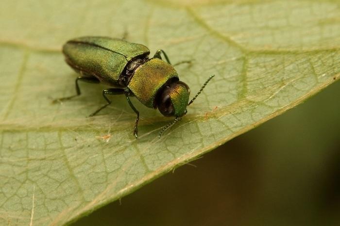 ヒメヒラタタマムシs