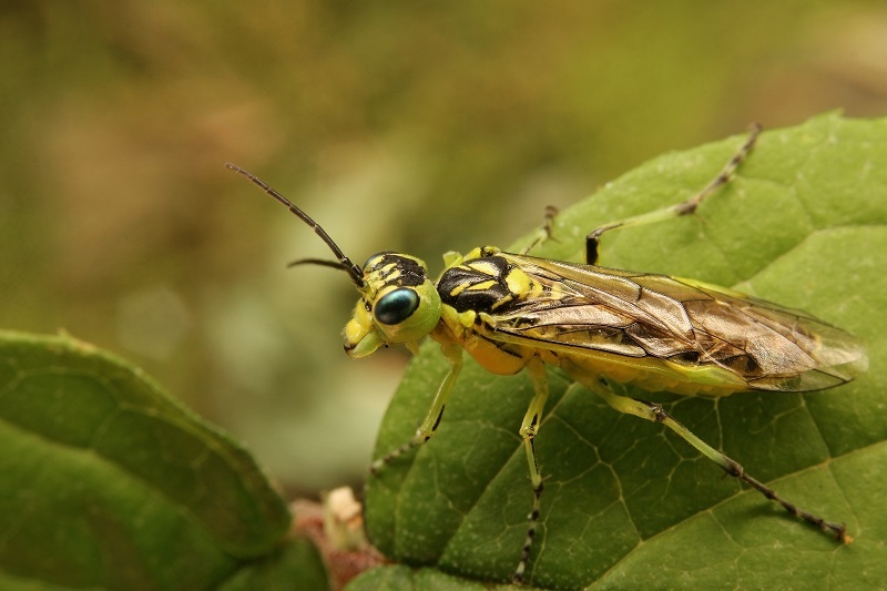 クロムネアオハバチ2s
