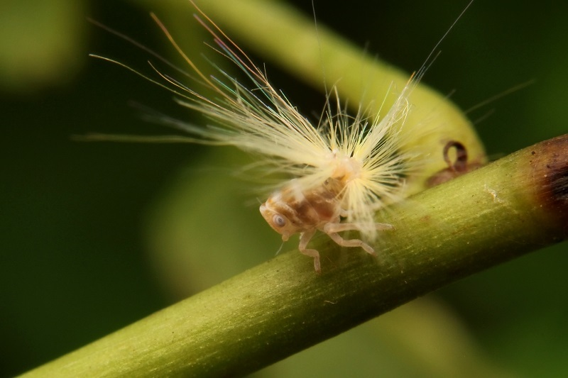 アミガサハゴロモ幼虫s
