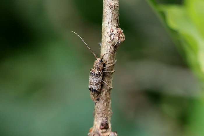 トガリシロオビサビカミキリs