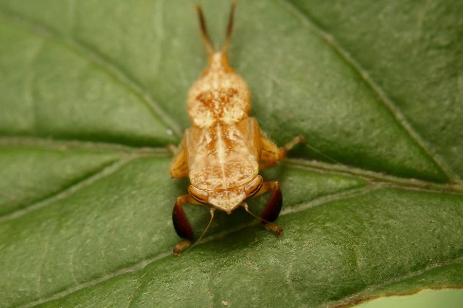 ブチミャクヨコバイ幼虫s