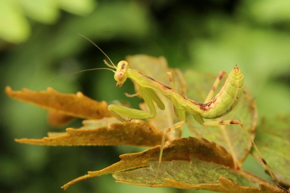 カマキリ幼虫2s