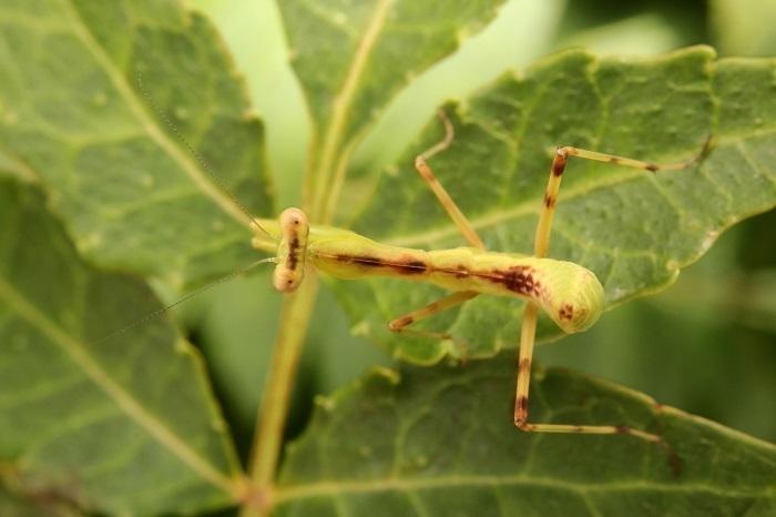 カマキリ幼虫s