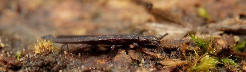 ナガヒラタカメムシペラペラs