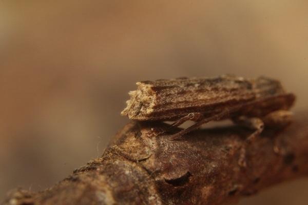 コブスジサビカミキリ2s