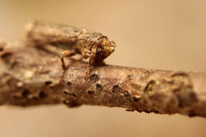 コブスジサビカミキリs