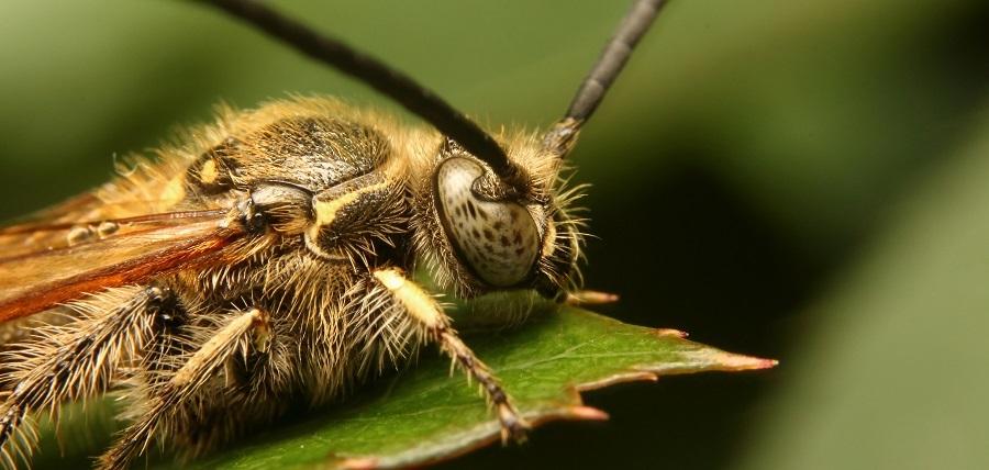 ヒメハラナガバチ3s