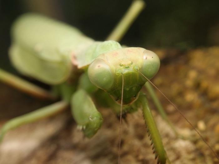 カマキリハラビロs