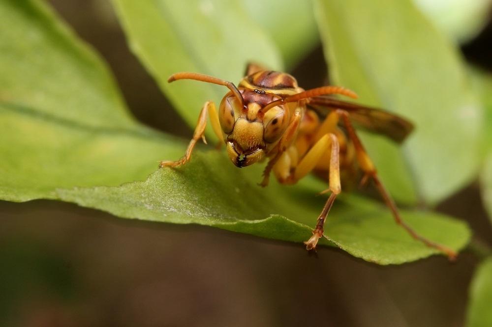 ムモンホソアシナガバチ2s