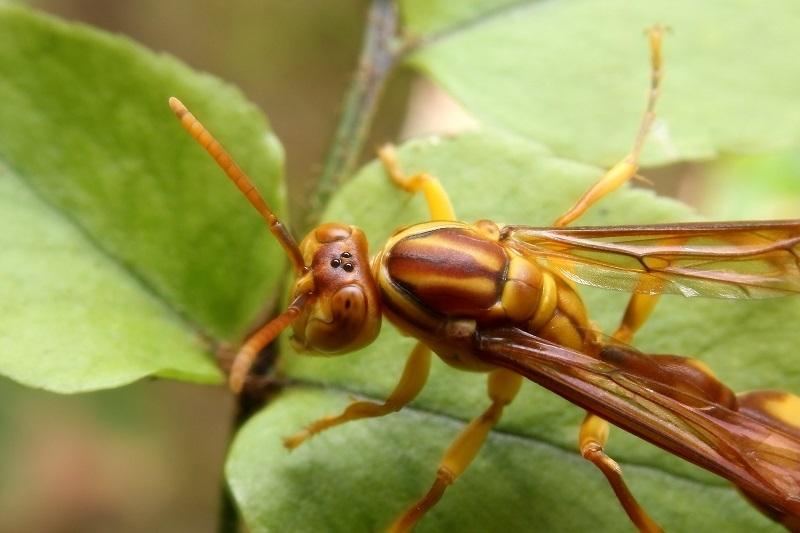 ムモンホソアシナガバチs