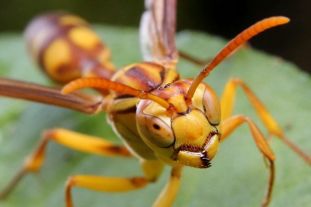 ムモンホソアシナガバチ1s