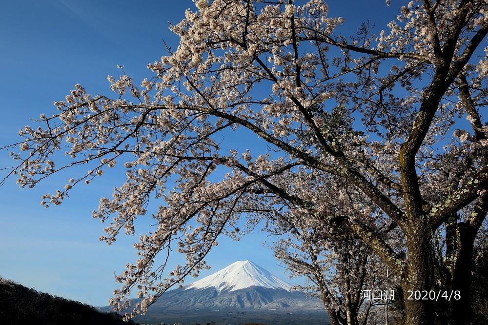4月 河口湖 桜s