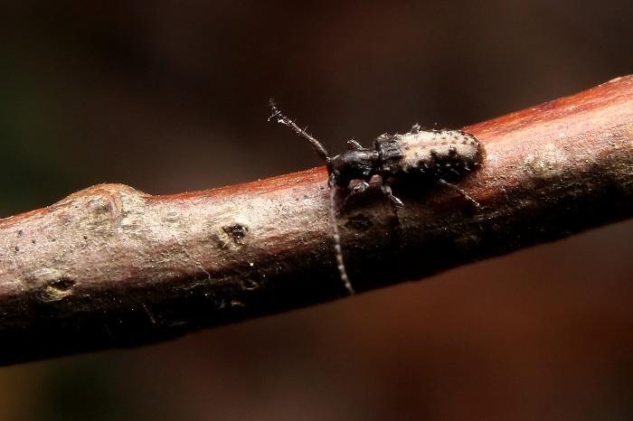 ヘリグロチビコブカミキリs