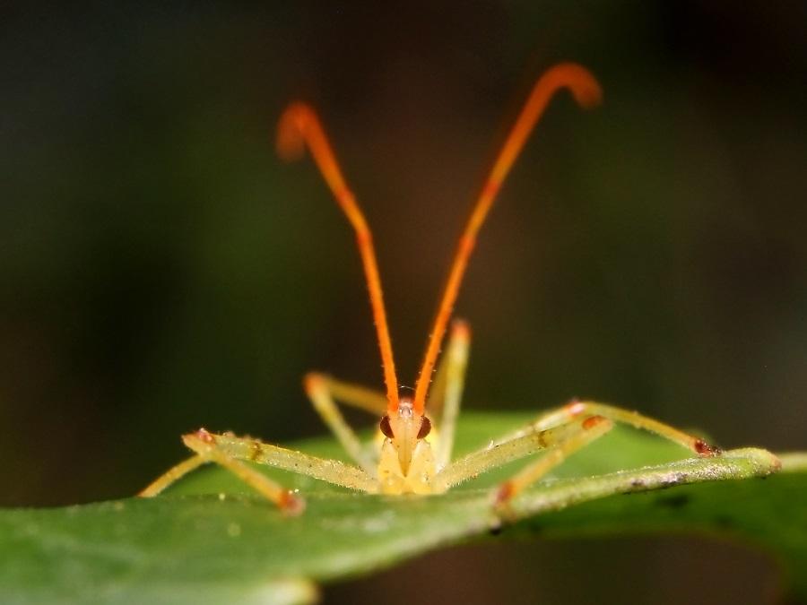 ヒゲナガサシガメ幼虫s
