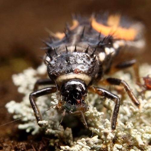 テントウ幼虫1s