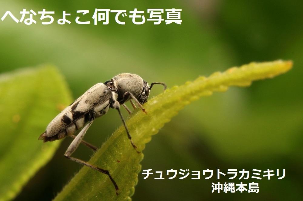 チュウジョウトラカミキリ
