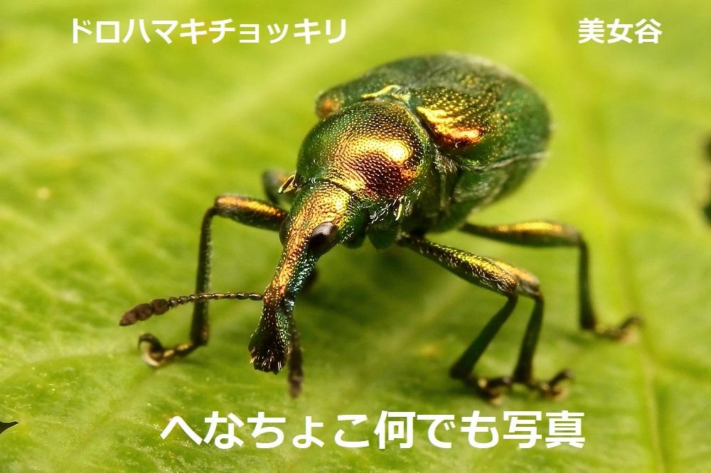 ドロハマキ♂