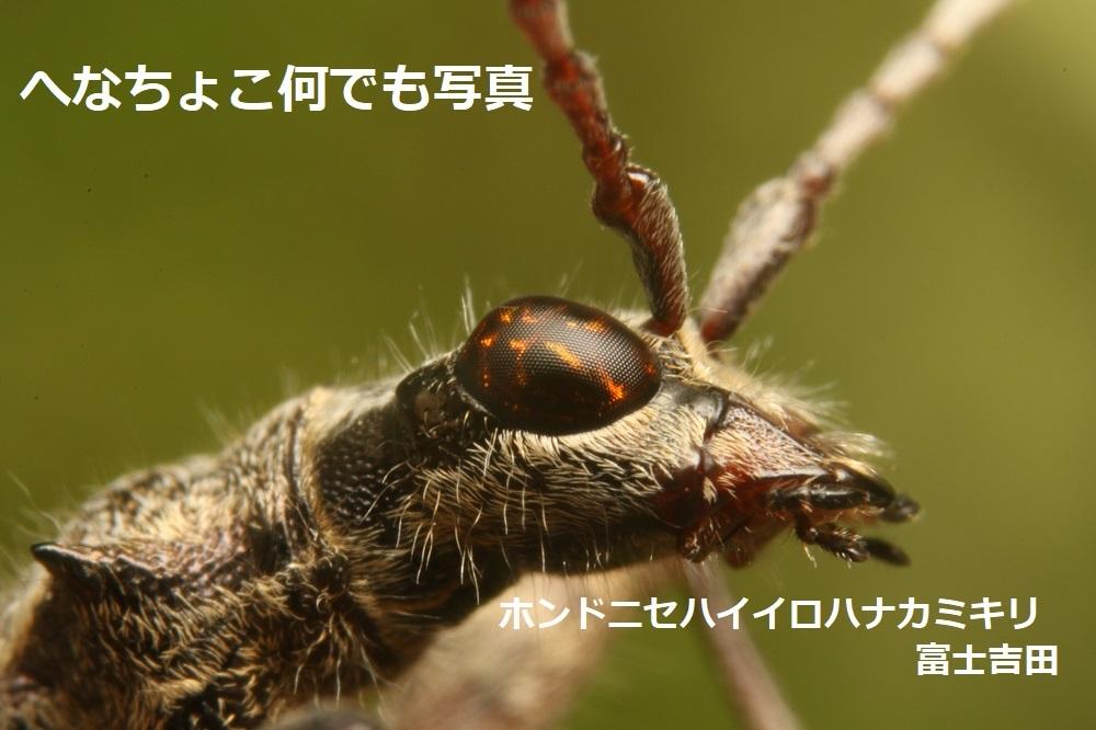 ホンドニセハイイロハナカミキリ