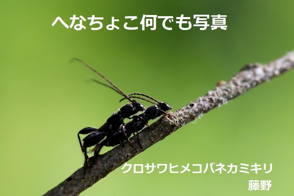 クロサワヒメコバネカミキリ