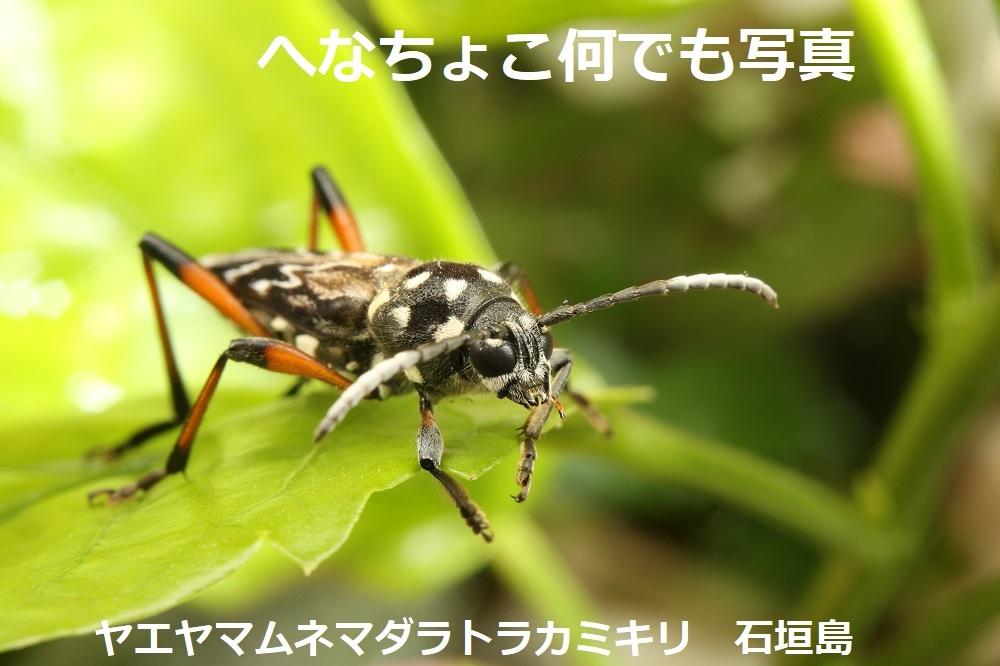 ヤエヤマムネマダラトラカミキリ