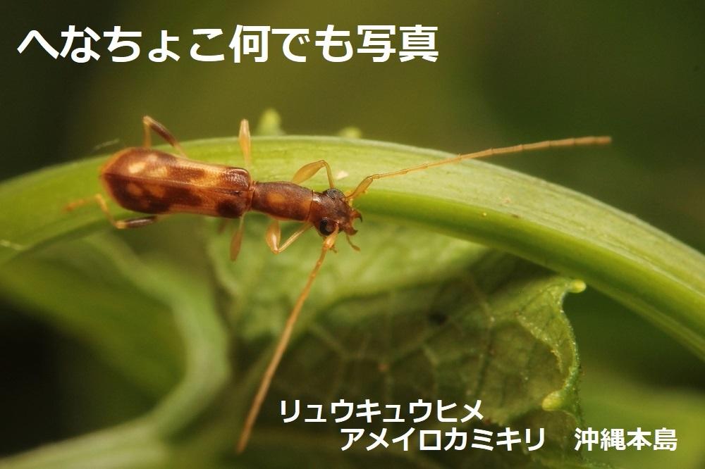 リュウキュウヒメアメイロカミキリ