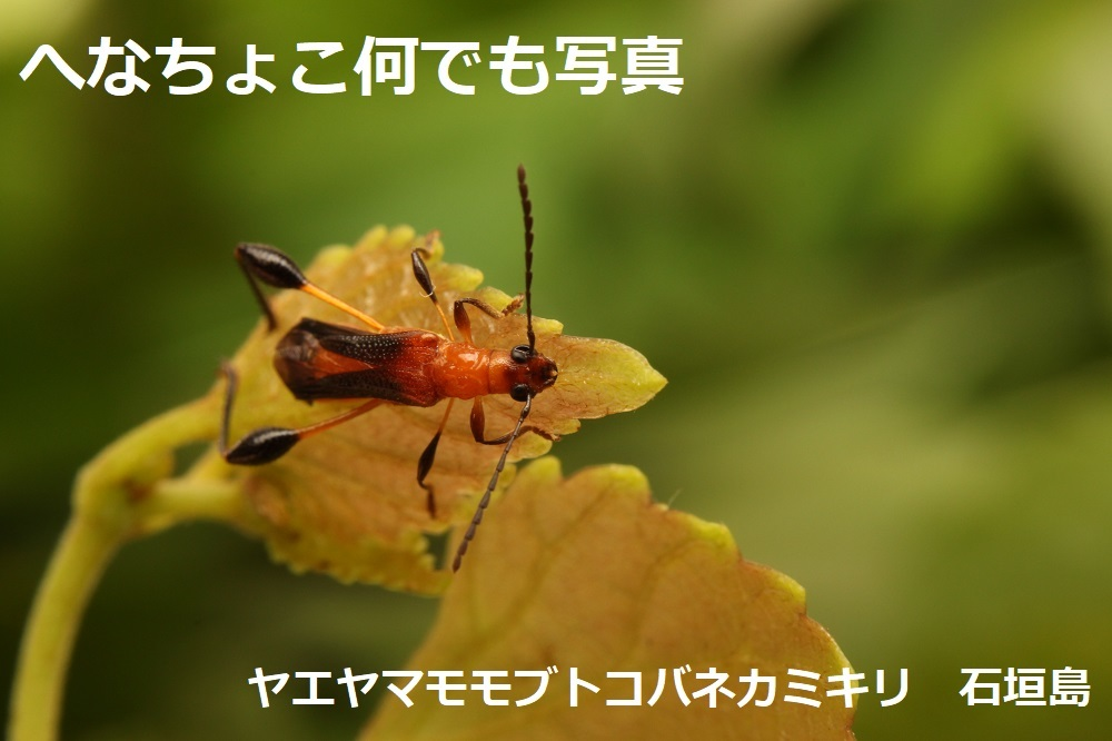 ヤエヤマモモブトコバネカミキリ