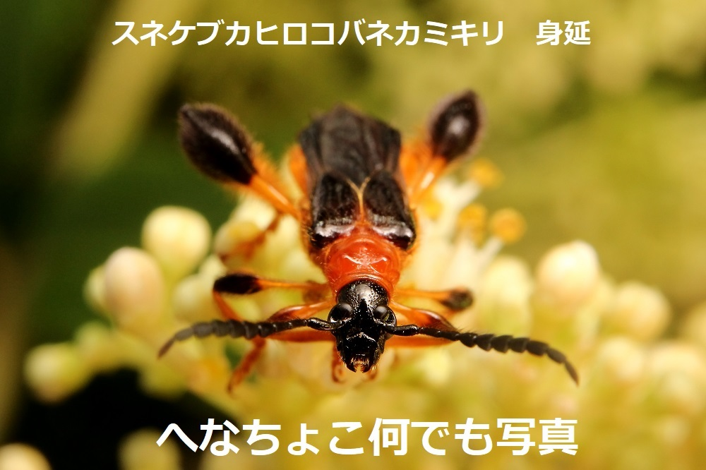 スネケブカヒロコバネカミキリ