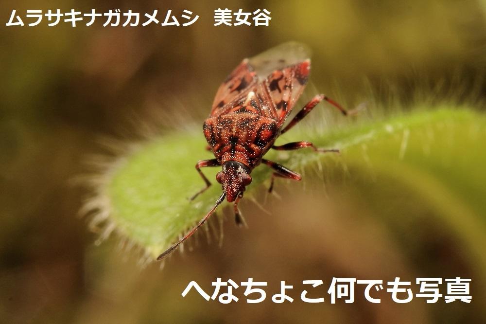 ムラサキナガカメムシ