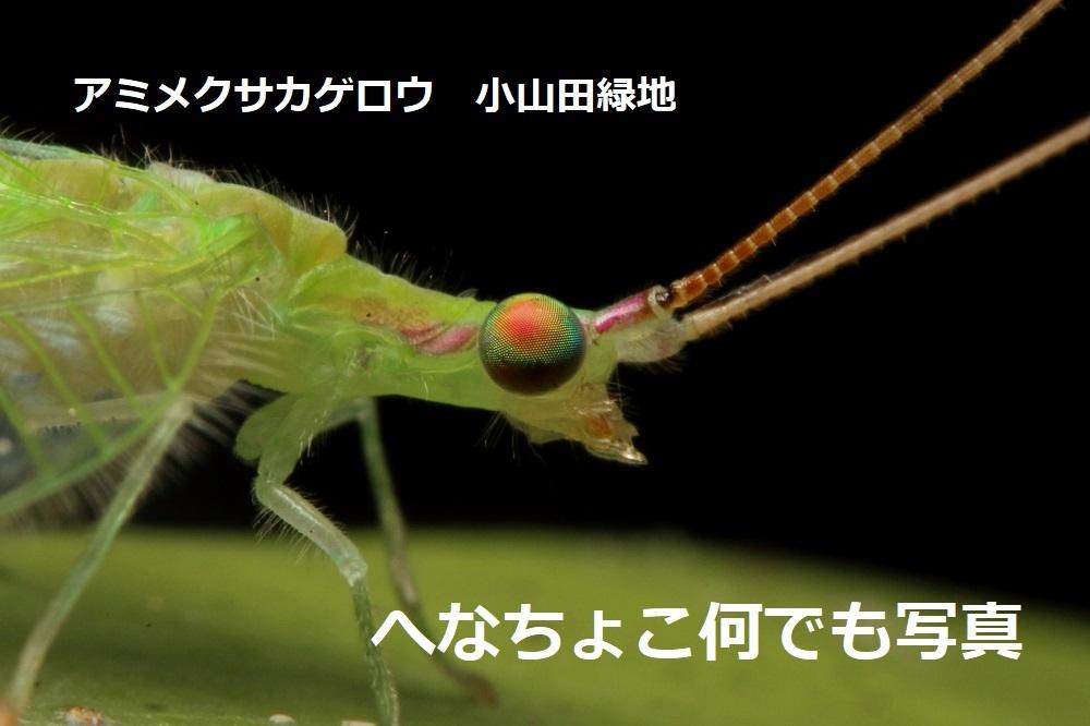 アミメクサカゲロウ