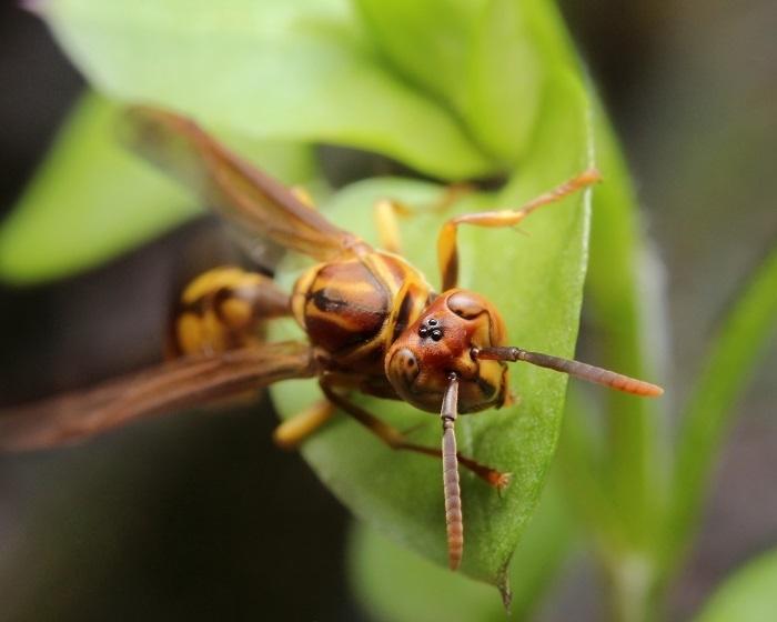ヒメホソアシナガバチ2s
