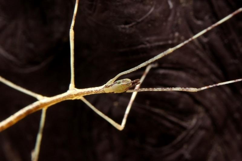 ナナフシモドキ幼虫s