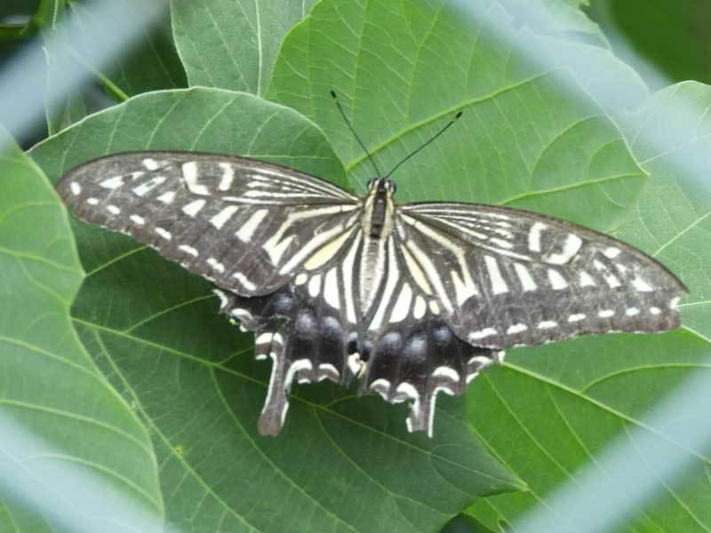 アゲハチョウ