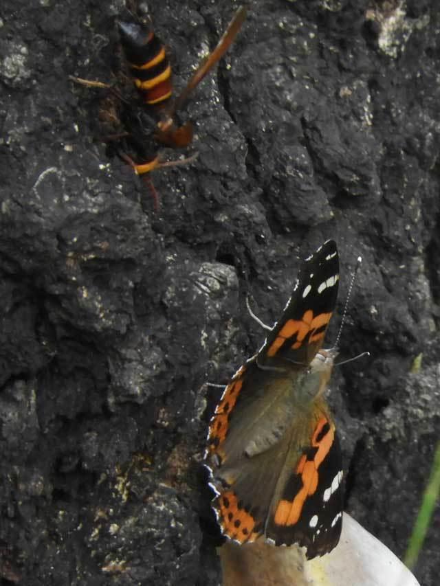 アカタテハとヒメスズメバチ