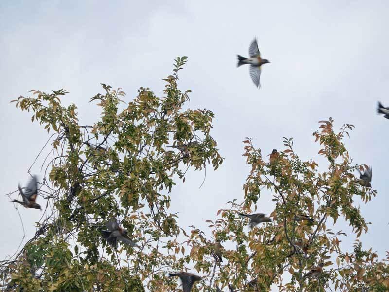 アキニレの木から飛び立つアトリ