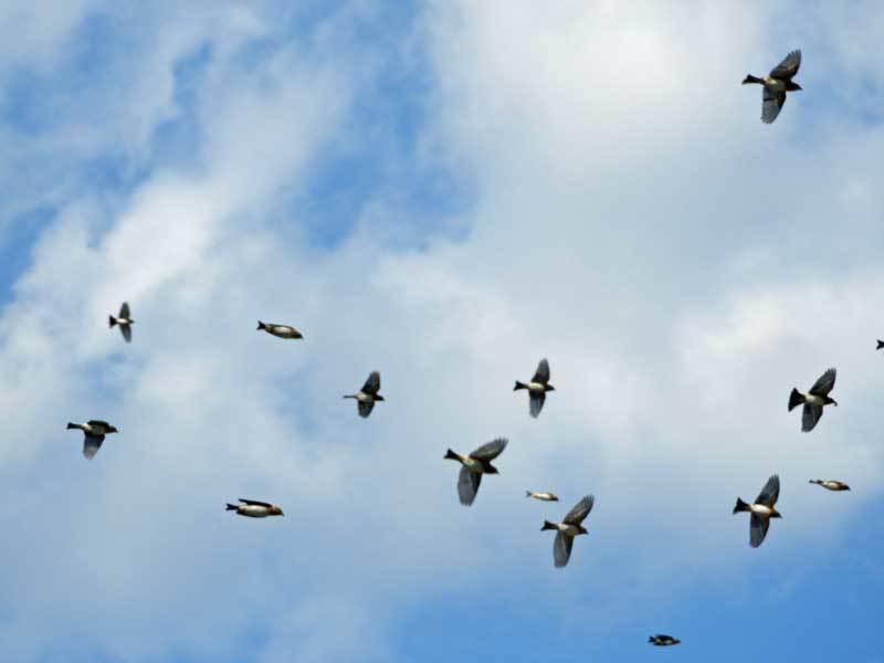 アトリ群飛翔