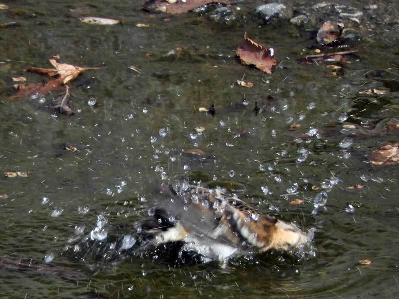 アトリの水浴び