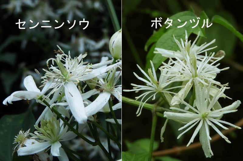 花の比較センニンソウとボタンヅル