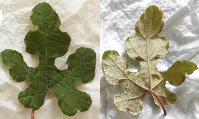 エビヅルの葉