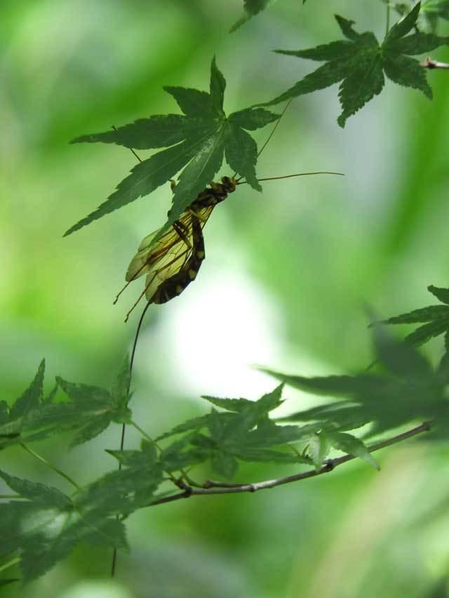 エゾノナガバチ