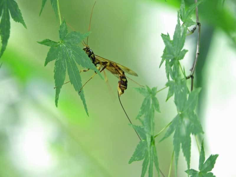 エゾオナガバチ