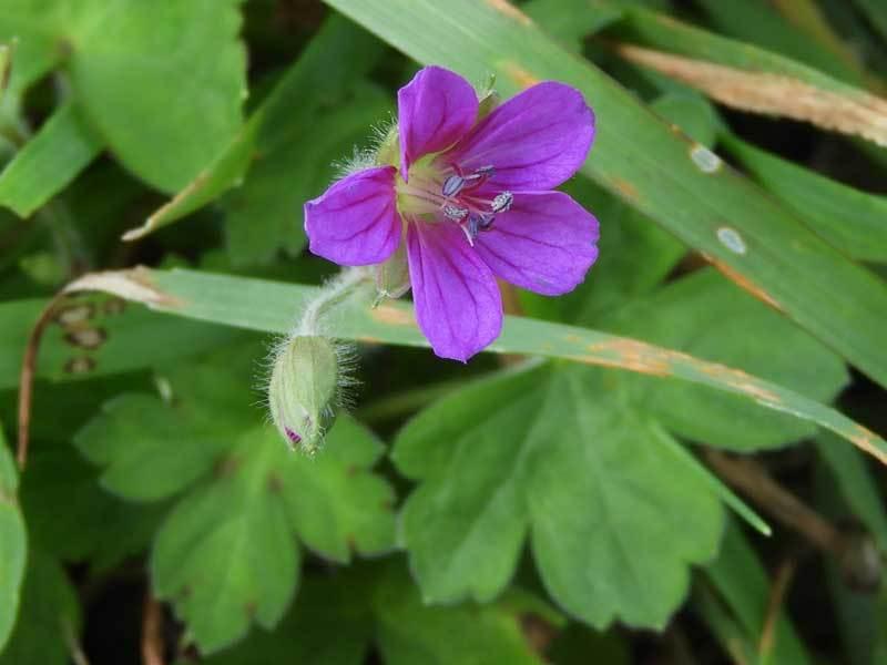 ゲンノショウコ赤花