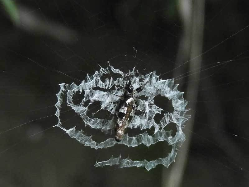 ギンナガゴミグモ