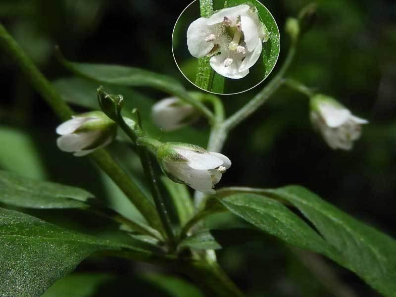 ギンレイカ花