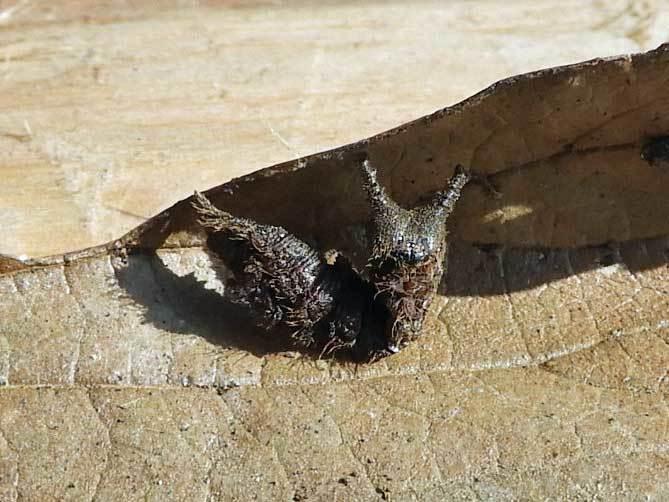 ゴマダラチョウ幼虫