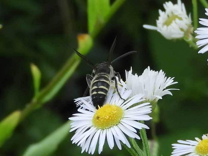 ハラナガツチバチ♂